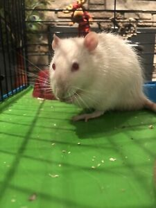 Albino Rat , Cage ,Toys, and accessories