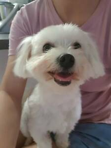 Coco 1 Year Old Female Maltese X Shih Tzu Dogs Puppies