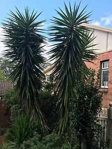 Huge Yuka Plants for free Springwood Blue Mountains Preview