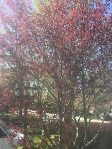 Japanese maple for sale