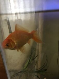 FREE Two Large Goldfish
