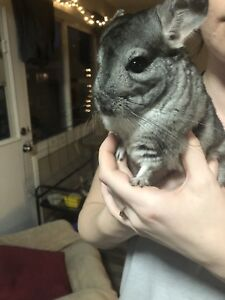 Female chinchilla with everything