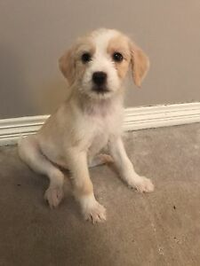 Jack russel X puppies - 1 left