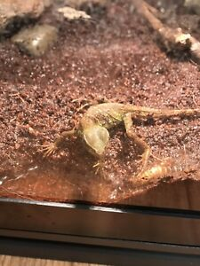 Chinese Water Dragon baby looking for good home!