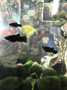 8 juvi black mollies and 1 Platy