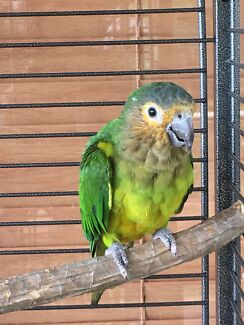 conure  brown crested (St Thomas conure)