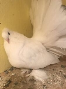 White Indian Fantail Pigeon Hen. Came from Ontario.