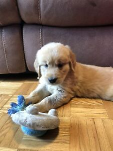GOLDEN RETRIEVER PUPPIES READY TO FIND FORVER HOMES