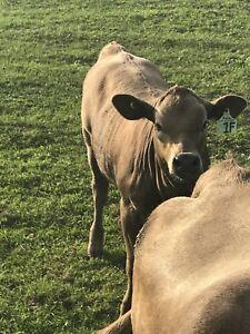 Angus char heifer