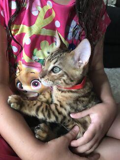 Bengals Golden brown kittens