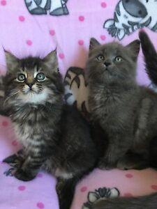 Super adorables chatons Maine Coon x!!