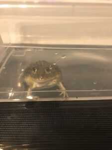 African giant bull frog FREE