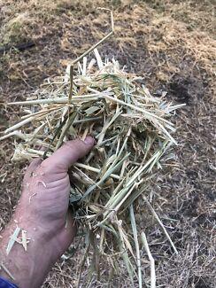 Beardless barley hay small squares