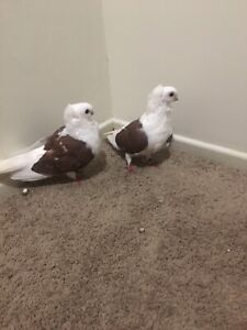 Two pigeons for sale