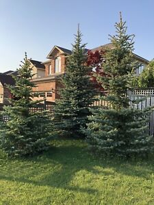 Mature Spruce Trees