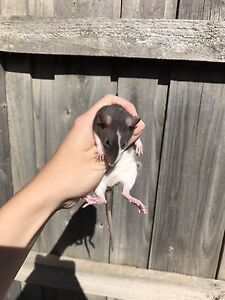 Female pet rats for sale, 6 weeks old Narre Warren Casey Area Preview