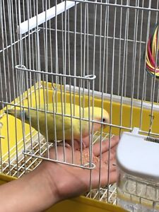 8 month old love bird with cage