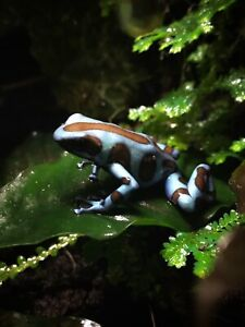 Proven breeding group of turquoise and bronze auratus!