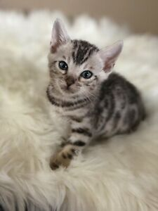 TICA registered Silver Bengal kittens