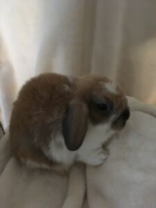 Purebred Holland Lops ONLY ONE LEFT!