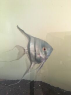 Free Angel Fish
