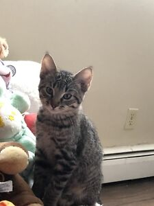15 week old kitten ready to go to his forever home