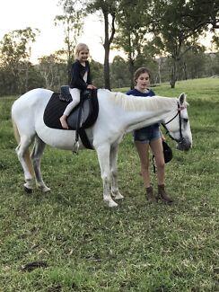 Stock x Quarter horse Mare