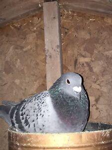 Pigeons for sale Cambridge Kitchener Area image 4