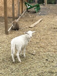 Katahdin sheep for sale