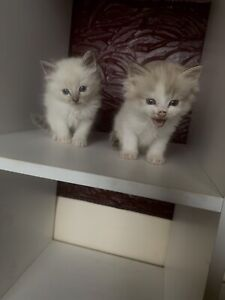 RAGDOLL KITTENS TRADITIONAL AND MINK