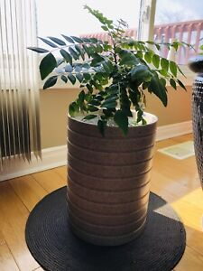 Exotic tropical curry leaves plant for sale