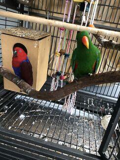 Eclectus Parrot pair.