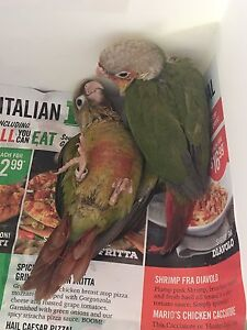 Baby Pineapple and Cinnamon Conures for sell! WATCH 2 VIDEOS !!