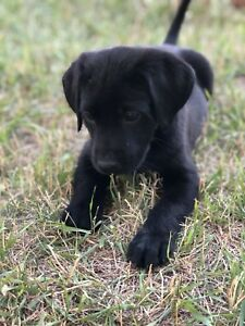 Labrador puppies - $600 IF YOU CAN COLLECT TODAY!