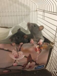 3 female baby rats to a good home