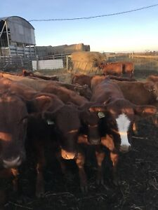 Wanted to buy 20 heifers