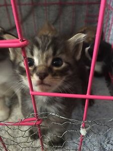 Persian cross kittens Miller Liverpool Area Preview