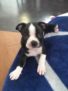 Boston Terrier Puppy (READY TO GO)
