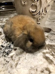***BUNNIES *** HOLLAND LOP, DOUBLEMANE LIONHEADS and MINI REXES