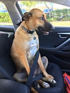 Our much loved Dog needs a new loving home Buddina Maroochydore Area Preview