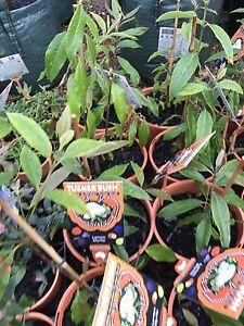 BUSH TUCKER Trees/Plants $10-$40 Midvale Mundaring Area Preview