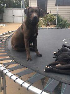 Labrador x