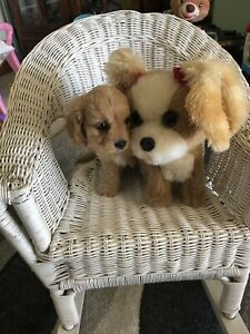 Cavoodles TINY puppies (TOY) 1st Generation