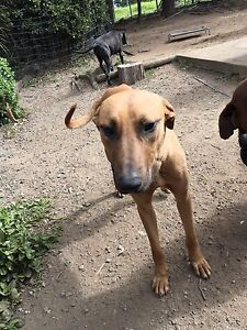 Rescue dog chase one yr ridgeback cross The Oaks Wollondilly Area Preview