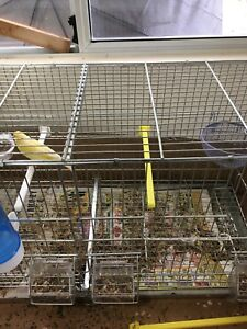 Canary female for sale