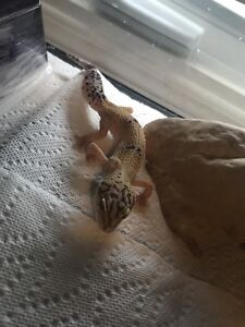 Gecko for sale