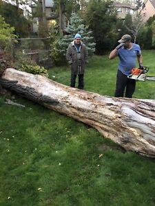 Solid oak tree for sale
