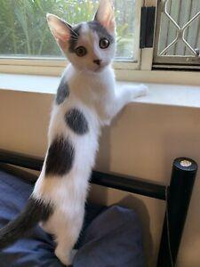 11 week old female kitten