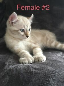 Exotic Highland Lynx Kittens Coming Soon