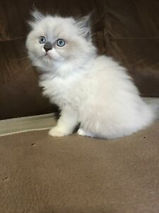 Only 3 adorable ragdoll kittens left